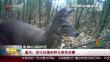 重庆:首次拍摄到野生雄性林麝