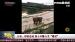 """云南:野象进城 数十民警为其""""警戒"""""""