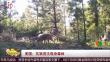 美国:灰狼首次现身森林