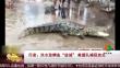 """印度:洪水致鳄鱼""""进城"""" 救援队捕获放生"""