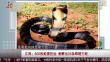 江西:500枚蛇蛋托运 竟孵出25条眼镜王蛇