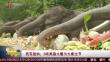 西双版纳:3吨果蔬大餐为大象过节