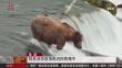 美国 鲑鱼洄游直接跳进棕熊嘴中