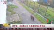 俄罗斯:多地熊出没 专家建议别给熊投食