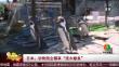 """日本:动物园企鹅享""""流水鰺鱼"""""""