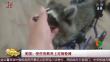 美国:受伤浣熊用上定制轮椅