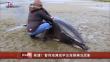 智利海滩现罕见海豚搁浅现象