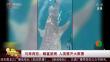 马来西亚:鲸鲨被困 人类展开大救援