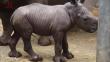 比利时白犀牛宝宝首度亮相