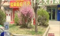 新闻在线20180502 林口县:达子香绽放 山坡成花海