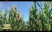 天天有机汇20180906鲜食玉米高品质 种植环境不一般