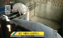 """宝清:""""猪王""""称霸村庄 去处愁坏主人"""