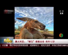 """澳大利亚:""""硬汉""""袋鼠去世 终年12岁"""
