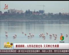 塞浦路斯:火烈鸟迁徙过冬 又见粉红色美景