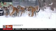 冬季观虎正当时