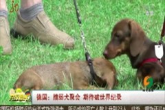 德国:腊肠犬聚会 期待破世界纪录