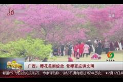 广西:樱花美丽绽放 赏樱更应讲文明