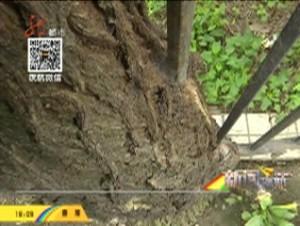大树造型奇特  怀抱栅栏生长
