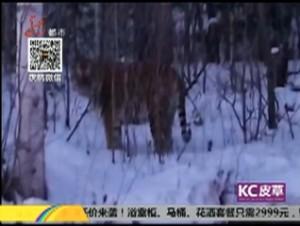 """东北虎现身  为龙江生态""""点赞"""""""