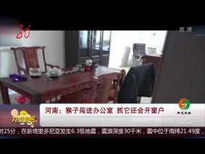 河南:猴子闯进办公室 抓它还会开窗户