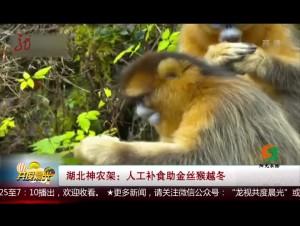 湖北神农架:人工补食助金丝猴越冬