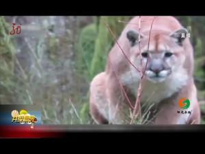 """加拿大:惊险!男子野外""""与狮同行"""""""