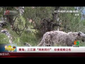 """青海:三江源""""两豹同行"""" 珍贵视频公布"""