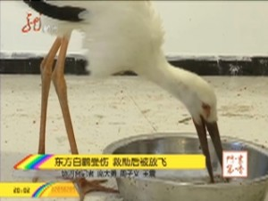 东方白鹳受伤  救助后被放飞