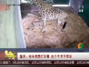 重庆:给长颈鹿打石膏 这个治疗有难度