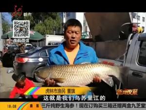 虎林:秋季乌苏里 惊现大草鱼