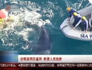幼鲸被困防鲨网 救援人员施救