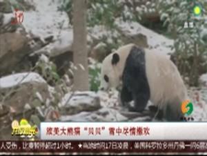 """旅美大熊猫""""贝贝""""雪中尽情撒欢"""