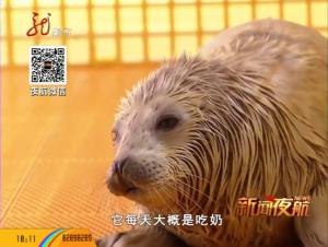 小海豹茁壮成长 游泳撒娇萌态百出