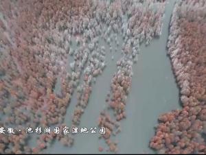 安徽:池杉绘就美丽画卷