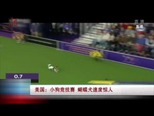 美国:小狗竞技赛 蝴蝶犬速度惊人