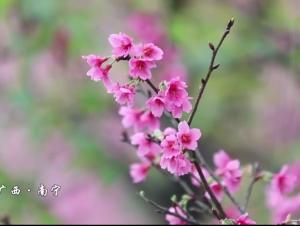 南宁:樱花争艳迎春来