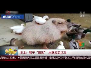 """日本:鸭子""""围攻"""" 水豚淡定以对"""