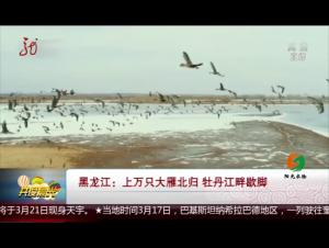 黑龙江:上万只大雁北归 牡丹江畔歇脚
