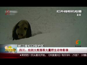 四川:拍到大熊猫等大量野生动物影像