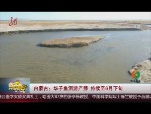 内蒙古:华子鱼洄游产卵 持续至6月下旬