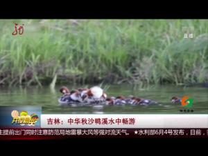 吉林:中华秋沙鸭溪水中畅游