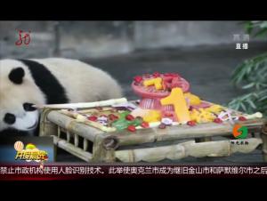"""上海:大熊貓""""七七""""一歲了"""