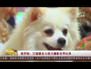 俄罗斯:打破最多小型犬摄影世界纪录
