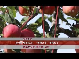 """陜西洛川:""""蘋果之鄉""""蘋果紅了"""