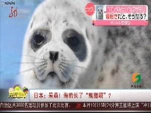 """日本:呆萌!海豹长了""""熊猫眼""""?"""