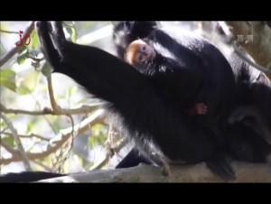 喜气!澳大利亚动物园降生珍稀黑叶猴