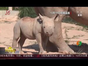 广东:不到满月 黑犀牛宝宝首次亮相