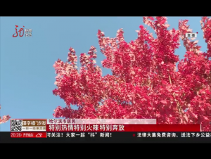 哈工程红树林 点亮秋日景色