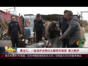 黑龙江:一级保护动物白头鹤受伤被困 接力救护