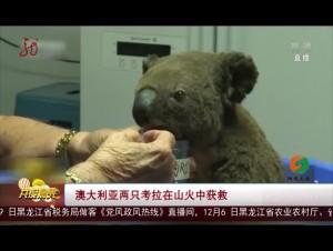 澳大利亞兩只考拉在山火中獲救